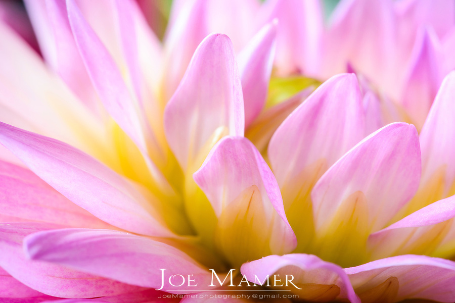 Pink and yellow dahlia flower.