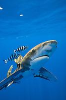 oceanic whitetip shark, Carcharhinus longimanus, with a small sharksucker or remora, and accompanied by a pair of pilot fish, Naucrates ductor, Kona Coast, Big Island, Hawaii, USA, Pacific Ocean