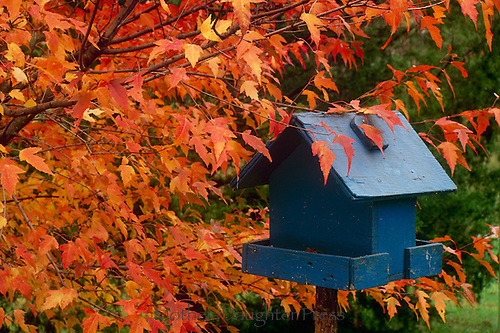 blue painted bird feeder in fall leaves of  red maple tree