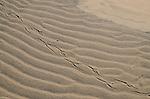 Ano Nuevo State Park, bird tracks in sand