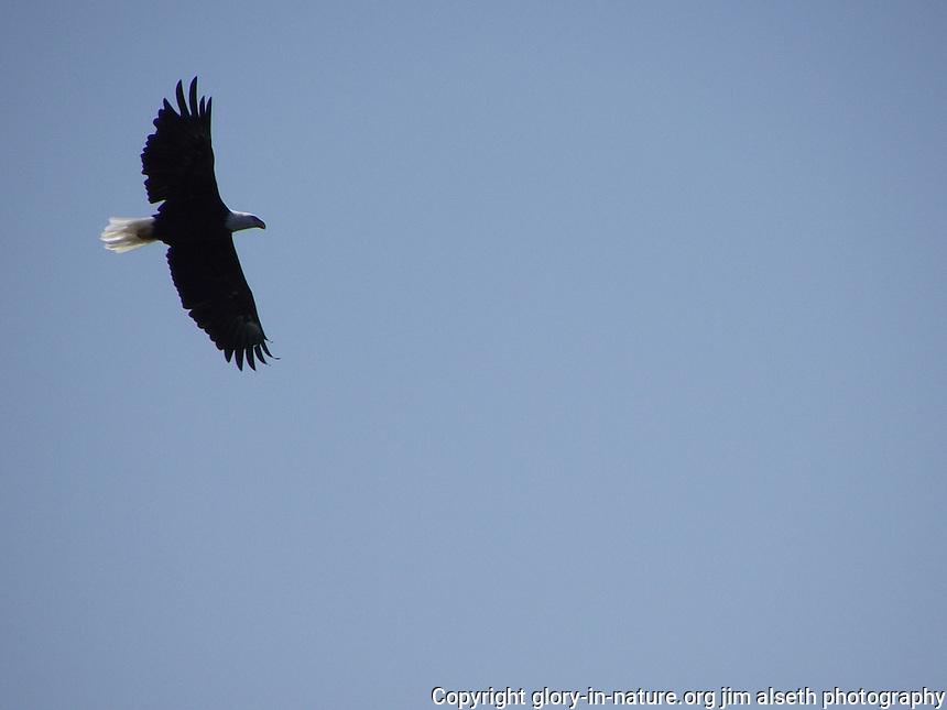 This Bald Eagle soars over Fish Lake near Nordegg, Alberta.
