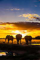 Herd of elephants at a watering hole at sunset, Nxai Pan National Park, Botswana.