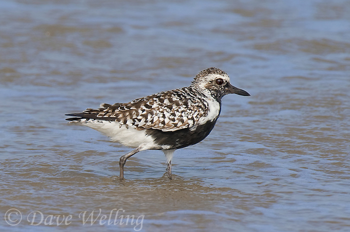 571760003 a wild female black-bellied plover pluvialis squatarola walks along the surf line on boca chica beach on the texas gulf coast