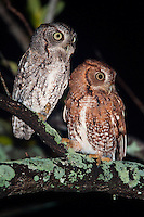 A mated pair of Eastern Screech Owls displays two of the color forms found in this species. The proportion of red owls in a population varies geographically by the amount of cloud cover and moisture, with red owls being most common in areas of high precipitation such as Florida and the southeast, and gray owls being more common in dry areas such as Texas. Red and brown are thought to offer more camouflage in wet and cloudy conditions, while darker feathers are more wear-resistant in hot, dusty climates.
