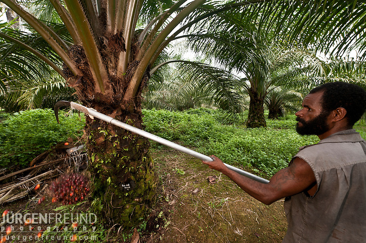 Papua new Guinean man harvests a ripe palm (Elaeis quineesis Jacq) fruit ready for processing. New Britain Palm Oil Limited