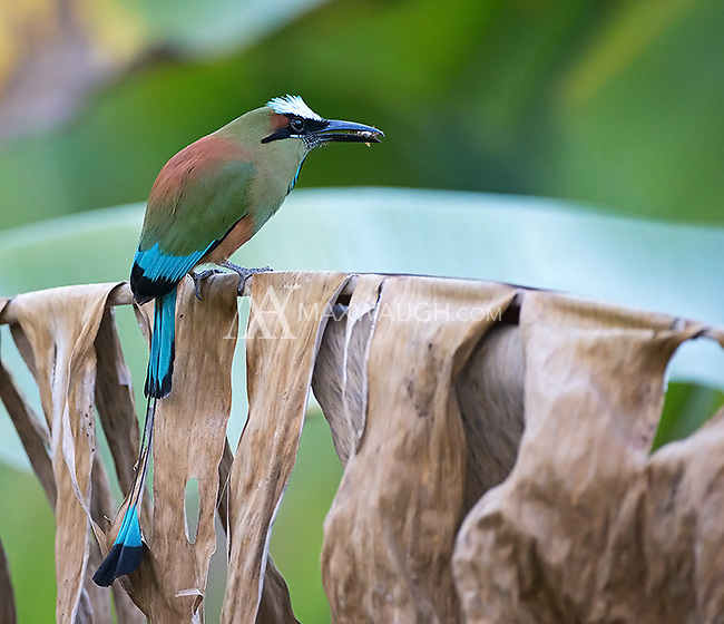 Turquoise-browed motmots are often seen along Costa Rica's central Pacific coast.