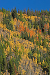 Fall colors are covering the south-facing mountainside along the road to Bear Lake. Rocky Mountain National Park makes an excellent showing during the autumn with a vibrant mixture of yellow, green, and red set against the rich blue sky Colorado.