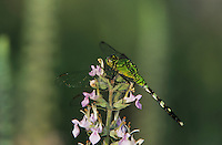 Eastern Pondhawk, Erythemis simplicicollis, female on American Germander(Teucrium canadense), Welder Wildlife Refuge, Sinton, Texas, USA