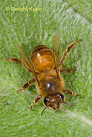 1B11-508z  Honeybee showing all the body parts, antennae, 3 body segments, 6 legs, wings, Apis mellifera