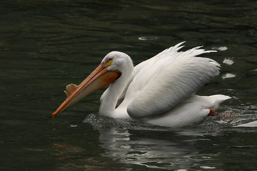 One of North America's largest birds, the American White Pelican is distinctive for its nine-foot wingspan, conspicuous white body, and the improbable proportions of its large bill and pouch.