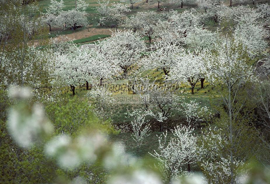 Europe/France/Auvergne/12/Aveyron/Gorges du Tarn/Env. de Pailhas: Vignes et cerisiers en fleurs