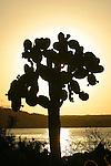 Candel cactus at sunset  on Santa Cruz island<br /> Cactus et falaise sur l Ile de Santa Cruz  Punta estrada pres de Puerto Ayora