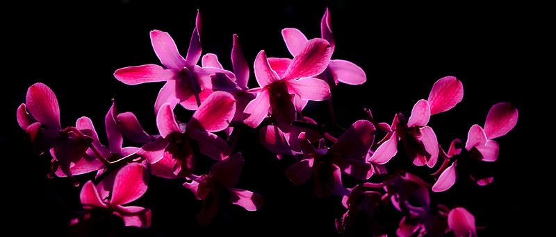 Backlit orhids. Kauai, Hawaii.
