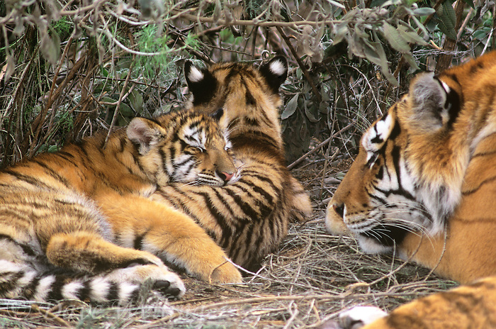 684080048 a captive mother and two cub siberian tigers panthera tigris altaicia with the cubs staying close for protection species is highly endangered native to the high steppe plateaus of central asia and this is a wildlife rescue animal