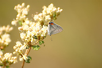 A grey hairstreak feeding on wildflowers in the Apalachicola National Forest.