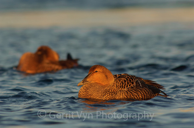 Adult female Common Eider (Somateria mollissima) of the eastern subspecies S. m. dresseri. Gloucester, Massachusettes. March.