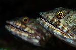 Pair of Lizardfish, Saurida sp., Banda Neira, Banda Sea, eastern Indonesia, Pacific Ocean