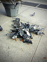 Pigeons eat food left for them on a sidewalk in New York on Thursday, February 27, 2014. (© Richard B. levine)