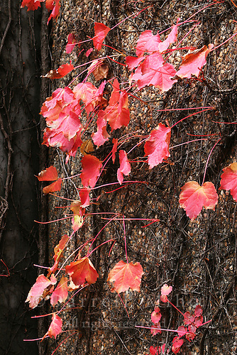 Dec 23, 2005; Napa, CA, USA;  Colorful red vine leaves cover an exterior wall at the Niebaum-Coppola Winery...Mandatory Credit: Darrell Miho.Copyright © 2005 Darrell Miho