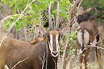 Sable antelope (Hippotragus niger), Hwange National Park, Zimbabwe