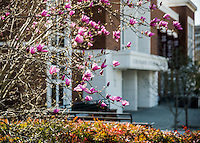 Japanese magnolia blossoms at Colvard Student Union.<br /> (photo by Mitch Phillips / &copy; Mississippi State University)