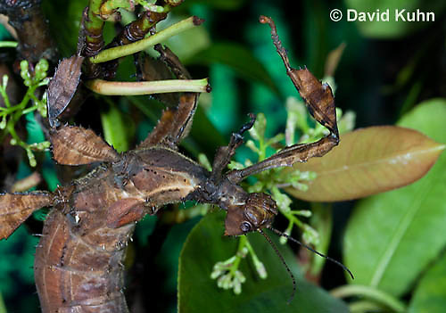 0415-1102  Giant Prickly Stick Insect (Macleays Spectre), Extatosoma tiaratum  © David Kuhn/Dwight Kuhn Photography
