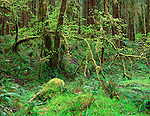 Olympic National Park, WA   <br /> Arching moss covered maple branches in the spruce, alder forest of the Queets river valley rainforest