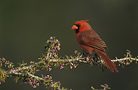 Northern Cardinal, Cardinalis cardinalis,male on blooming Guayacan (Guaiacum angustifolium) , Starr County, Rio Grande Valley, Texas, USA