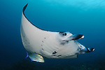 Reef manta ray: Manta alfredi, swimming above a reef top, Komodo National Park