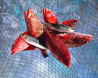 Top Shot of red snapper, herrings in a fishing net above water