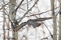 Great Grey Owl (Strix nebulosa) in flight emerges from the forest.  Alberta, Canada.
