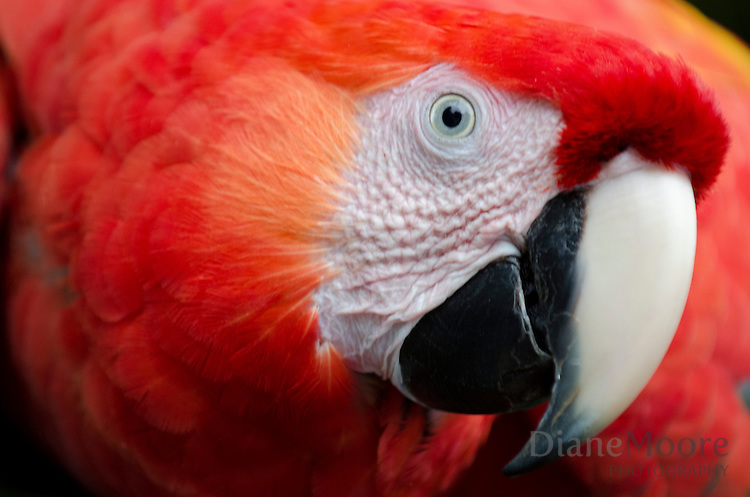 Portrait of Parrot - Costa Rica
