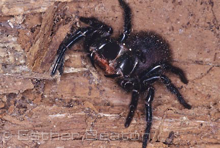 Blue Moutains Funnelweb (Hadronyche versuta) feamle ready to attack. Helensburgh, New South Wales