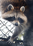 """A Raccoon, named """"Rosey Bear"""" by it's keepers, climbs the wall of it's enclosure at the Town of Brookhaven Ecology and Wildlife Center in Holtsville Park, Holtsville, NY on November 13, 2007. Photo by Jim Peppler. Copyright Jim Peppler/2007."""