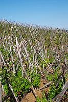 syrah vineyard cote rotie domaine g bonnefond ampuis rhone france