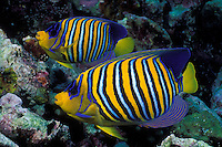 A pair of Regal Angelfish, Pygoplites diacanthus, browsing amdist coral rubble.  Similan Islands Marine National Park, Andaman Sea, Thailand, Indian Ocean