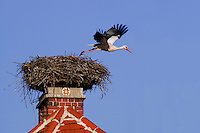 White Stork, Ciconia ciconia, adult leaving nest on chimney,Rust, National Park Lake Neusiedl, Burgenland, Austria, Europe