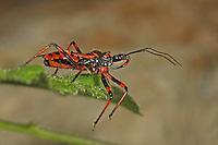 Rote Mordwanze, Zornige Raubwanze, Rhinocoris rubricus, Rhynocoris rubricus, red assassin bug, Reduviidae, Raubwanzen, assassin bugs, conenose bugs