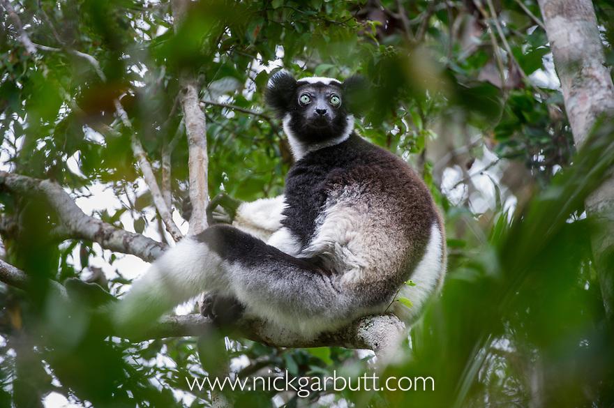 Adult Indri (Indri indri) (Endangered) resting in rainforest canopy. Andasibe-Mantadia NP, east Madagascar. IUCN: Endangered.