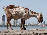 Goat standing on wall on sea front near to the Haji Ali mosque, Mumbai, with tower blocks in background.