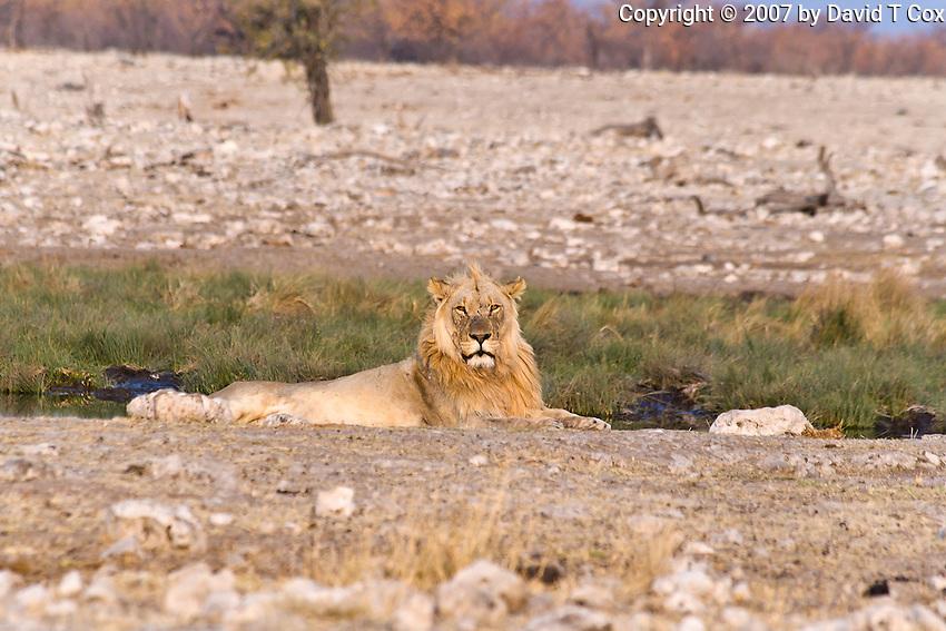 African Lion male, Rietfontein Water Hole, Etosha, Namibia