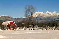 Fraser Valley, Southwestern BC, British Columbia, Canada - Red Barn and Orchard on Farm, Snow Capped 'Golden Ears' Mountains (Coast Mountains) in Golden Ears Provincial Park, Winter