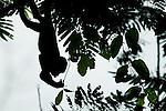 Mantled Howler Monkey (Alouatta palliata) young feeding on leaves in tree, Tortuguero National Park, Costa Rica