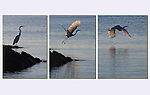Photoshop has made photography so much more fun!<br /> Great Egret (no gurantees) taking flight, Long Island Sound. .  John leads private, wildlife photo tours throughout Colorado. Year-round.