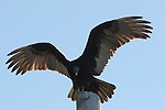turkey vulture on pole