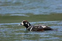 Harlequin Duck (Histrionicus histrionicus) drake. Swiming in a Pacific Northwest river. Spring.