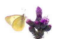 IFTE-NB-007267; Niall Benvie; Colias palaeno; Europe; Austria; Tirol; Fliesser Sonnenhänge; invertebrate insect butterfly arthropod; horizontal; high key; white purple yellow; controlled; marshland moor; 2008; July; summer; strobe backlight; Wild Wonders of Europe Naturpark Kaunergrat
