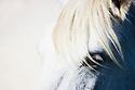 White Camargue horse, close-up of head, Camargue, France