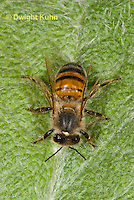 1B11-503z Honeybee showing all the body parts, antennae, 3 body segments, 6 legs, wings, Apis mellifera