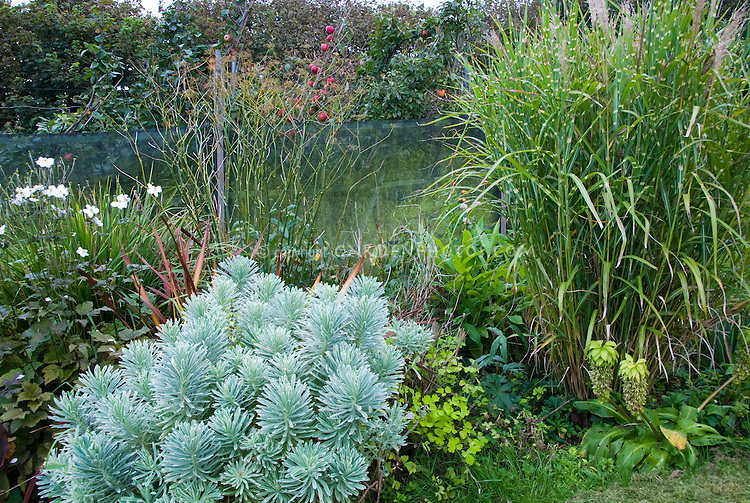 Euphorbia (? Silver Swan), Miscanthus sinensis, Apples, Eucomis, in Joy Larkcom's garden, September